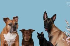 American Staffordshire Terrier, Lancashire Heeler, Cat, Malinois