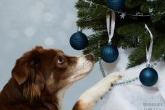 Australian Shepherd, Weihnachten